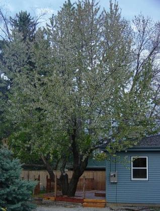 cherry tree 4