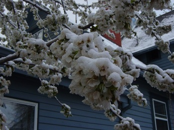 cherry tree 8